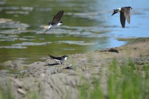 Swallows picking insect from the mud