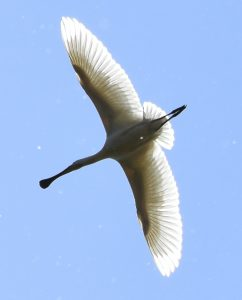 Spoonbill in the sky